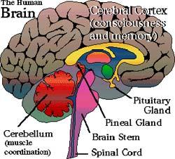 int_brain
